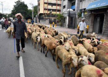 Para pedagang menggiring domba untuk dijual menjelang Hari Raya Idul Adha di Hyderabad, India, pada 18 Juli 2021. (Xinhua/Str)