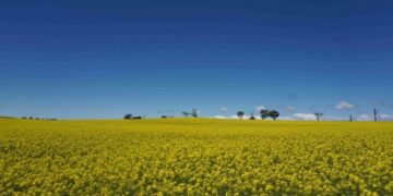 Foto yang diabadikan pada 19 Oktober 2021 ini menunjukkan pemandangan ladang canola di luar Canberra, ibu kota Australia. (Xinhua/Jiang Chenyi)