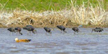 Foto dokumentasi yang diabadikan pada 16 Maret 2020 ini menunjukkan beberapa ekor burung ibis rokoroko (glossy ibis) mencari makan di cagar alam lahan basah Danau Jianhu di wilayah Jianchuan, Provinsi Yunnan, China barat daya. (Xinhua/Cagar alam lahan basah Danau Jianhu)